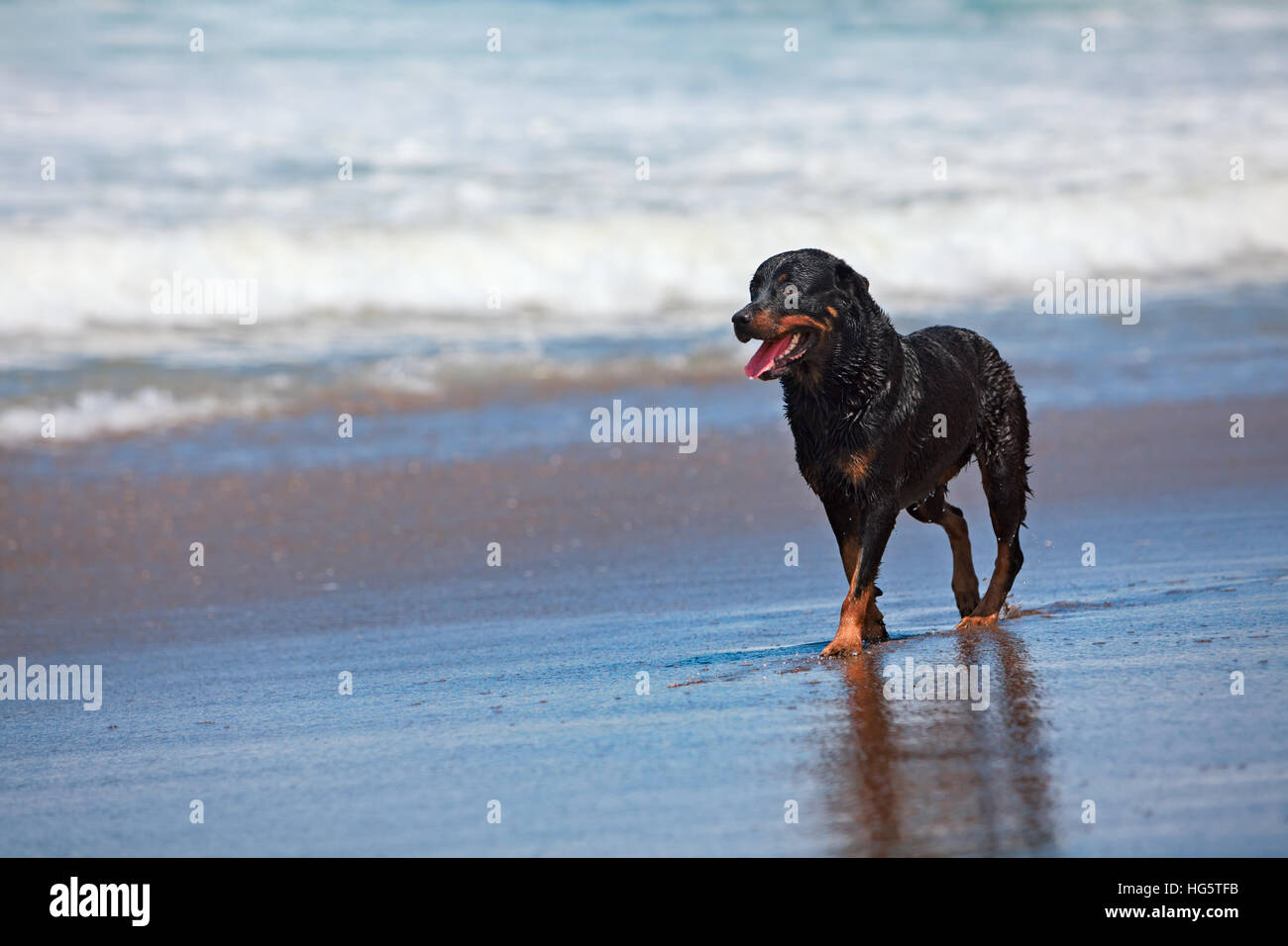 Rottweiler walking on black sand beach. Happy wet dog after swimming run along sea surf. Actions, training games - Stock Image