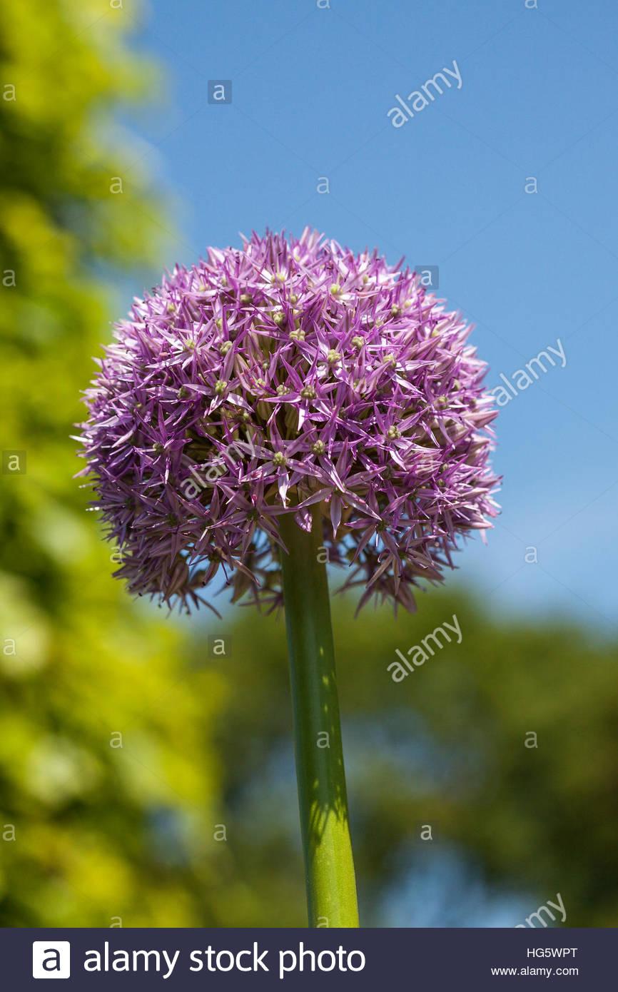 Allium 'Beau Regard' AGM - Stock Image