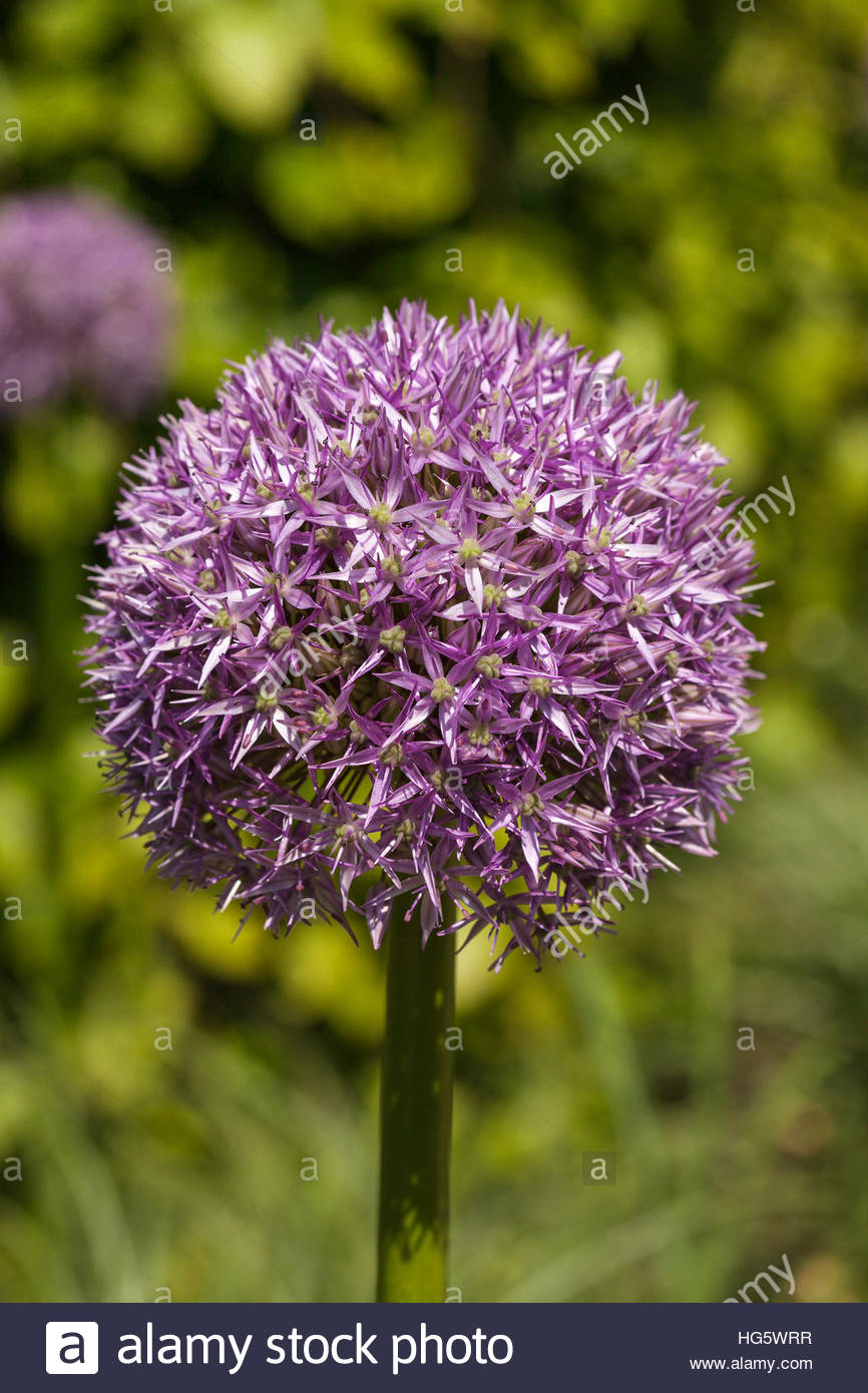 Allium 'Beau Regard' - Stock Image