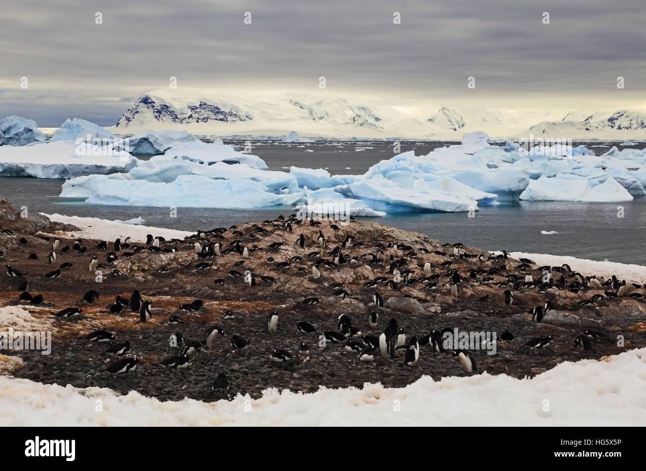 Gentou Penguin Colony 5 - Stock Image
