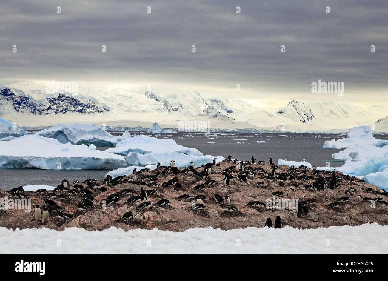 Gentou Penguin Colony 4 Stock Photo