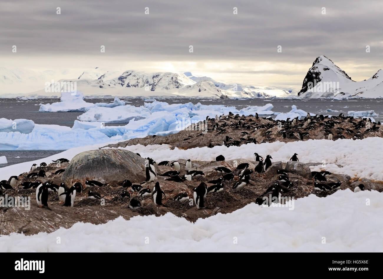 Gentou Penguin Colony 3 - Stock Image