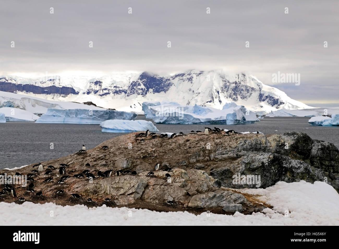 Gentou Penguin Colony 2 - Stock Image