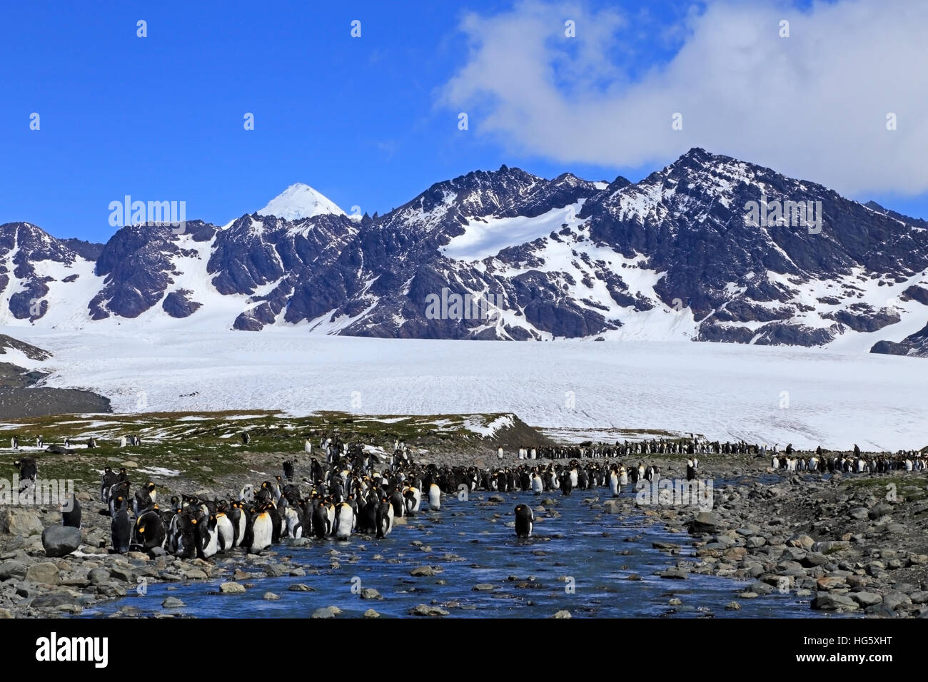 King Penguins 4 - Stock Image