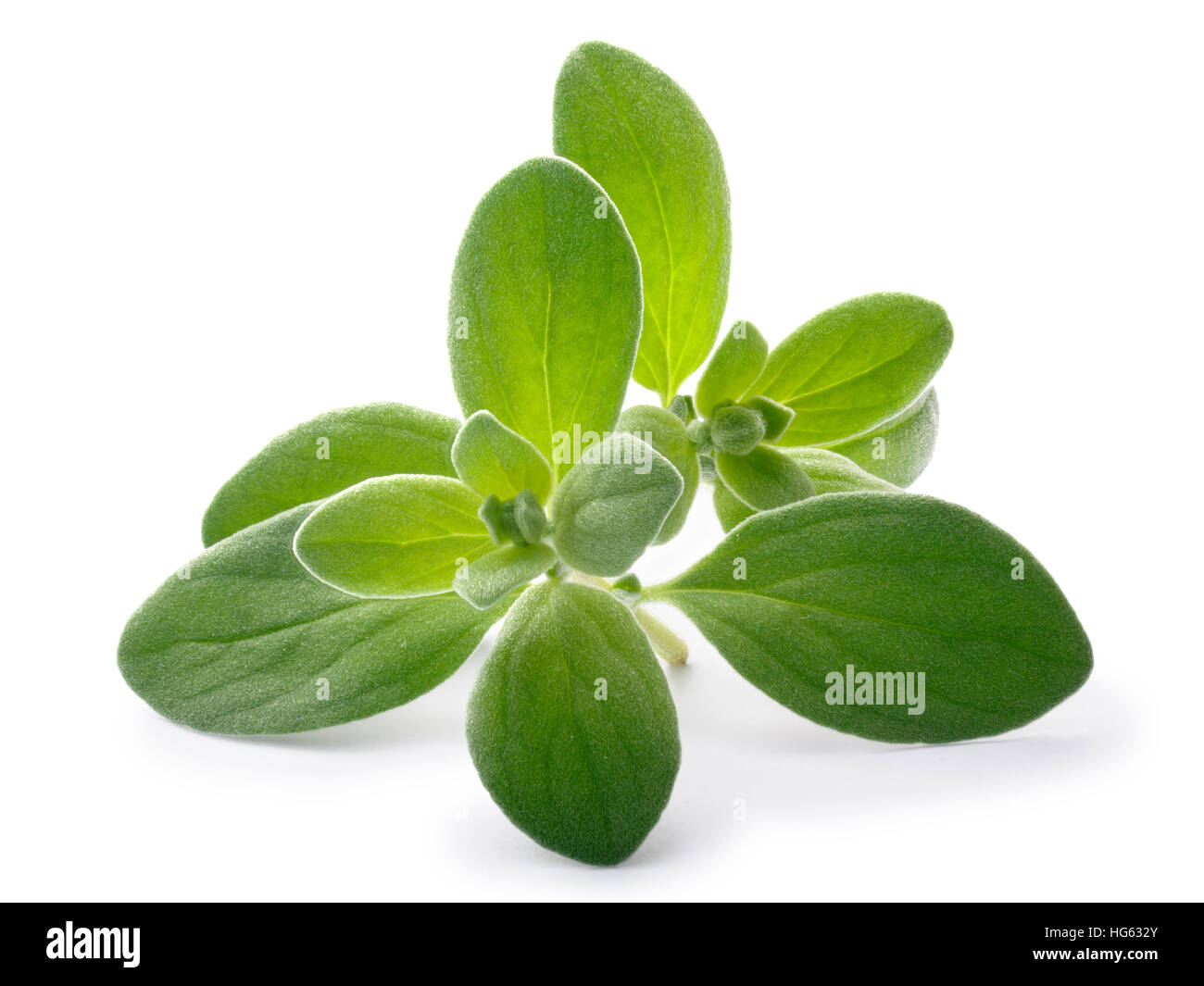 Fresh Marjoram (Origanum majorana), tops, close up. Clipping paths, shadows separated - Stock Image