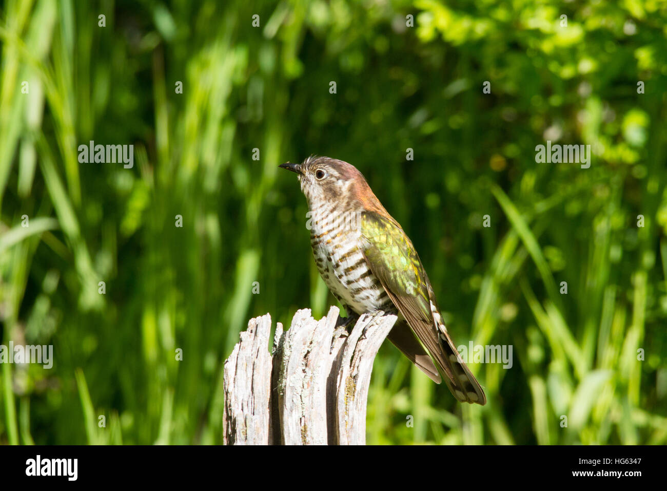 Shining Bronze-cuckoo (Chrysococcyx lucidus) Perched on a post - Stock Image