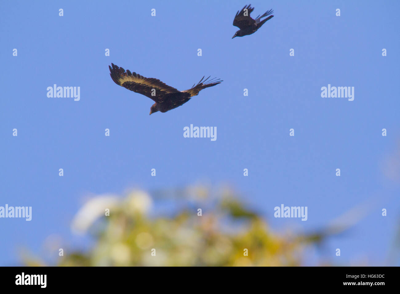 Wedge-tailed Eagle or Bunjil (Aquila audax), also sometimes known as the Eaglehawk in flight - Stock Image
