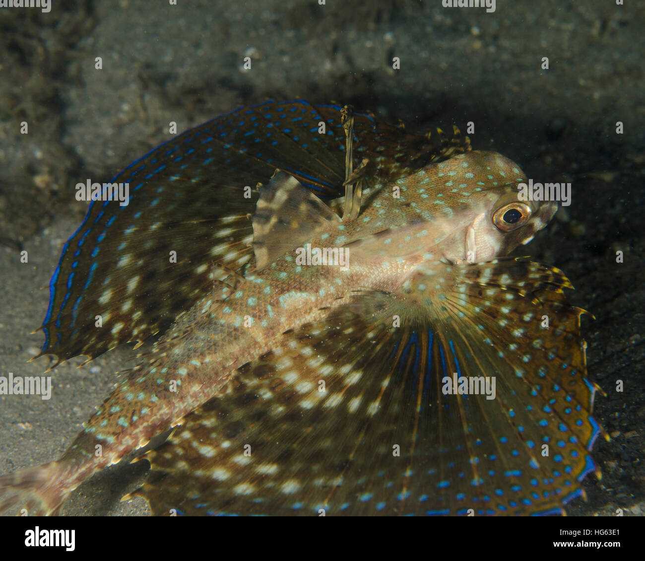 A flying gurnard with wings open in West Palm Beach, Florida. - Stock Image