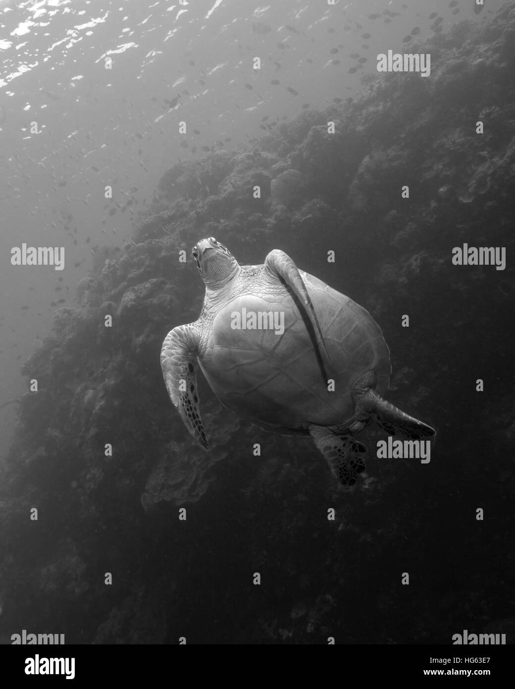 A green sea turtle at the Bunaken National Marine Park in Indonesia. - Stock Image