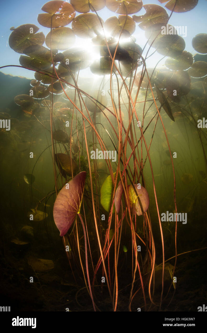 Sunlight shines down on lily pads growing in a freshwater lake in New England. - Stock Image