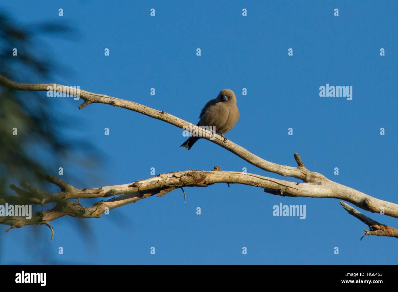 Dusky Woodswallow (Artamus cyanopterus) perched on a branch - Stock Image