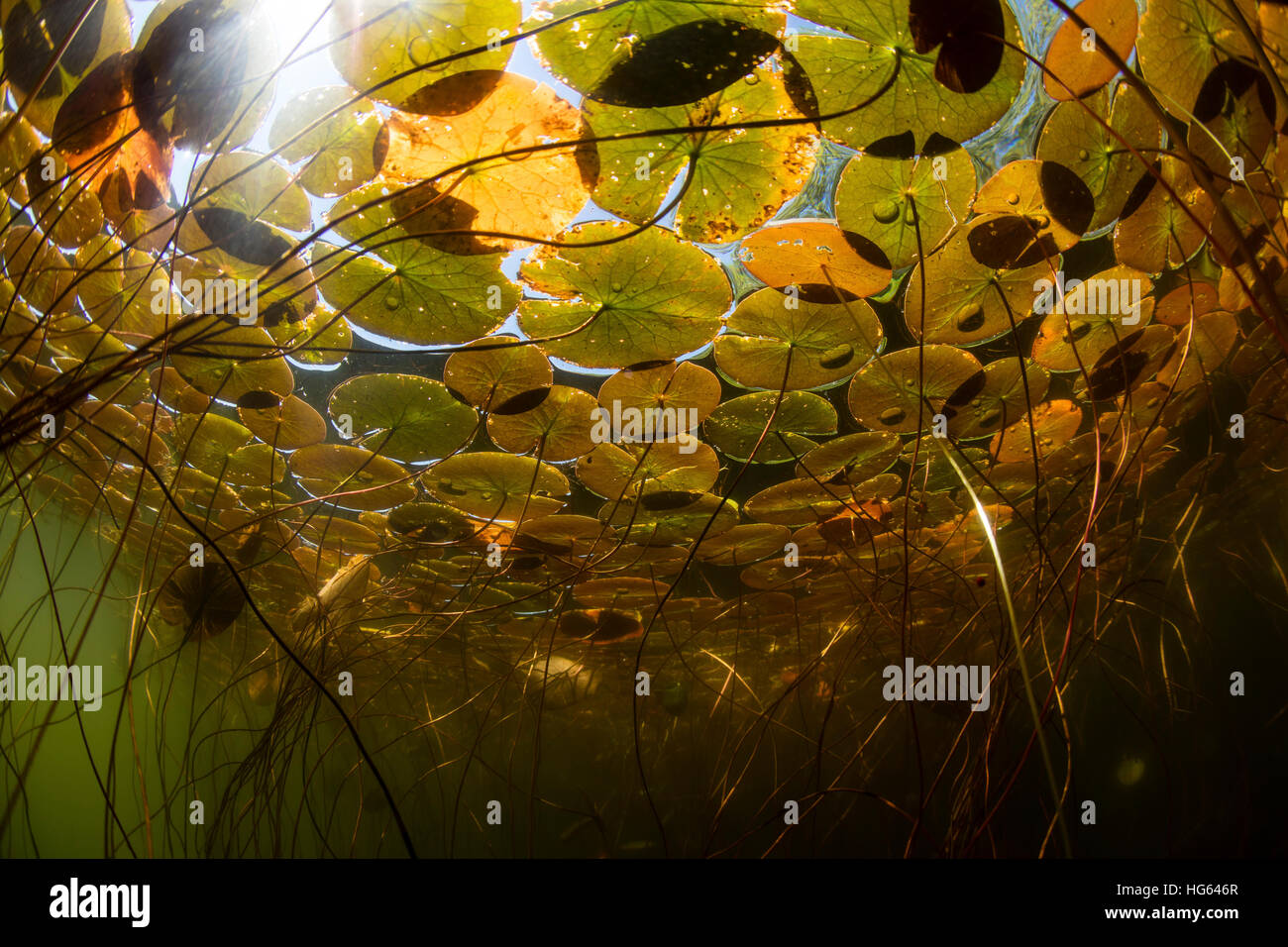 Sunlight shines down on lily pads growing on a lake in New England. - Stock Image