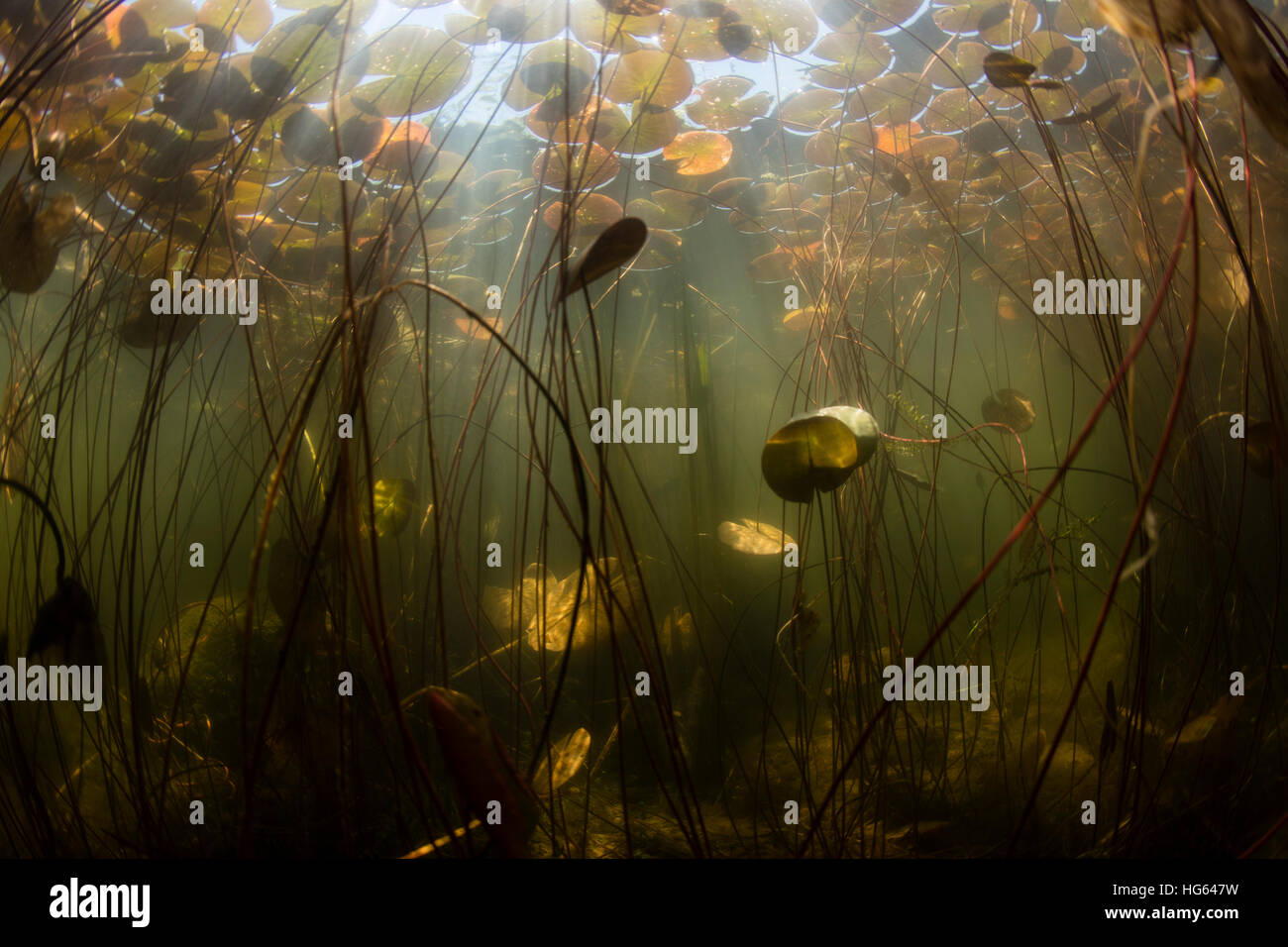 Sunlight shines on lily pads along edge of a freshwater lake in New England. - Stock Image