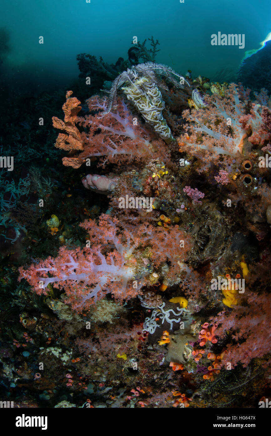 Vibrant soft corals and other invertebrates, Raja Ampat, Indonesia - Stock Image