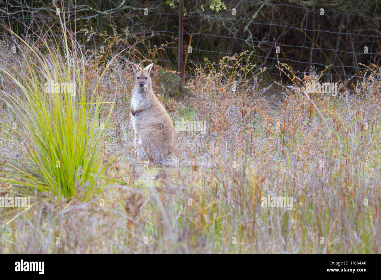 Red-necked Wallaby or Bennett's Wallaby (Macropus rufogriseus) Stock Photo