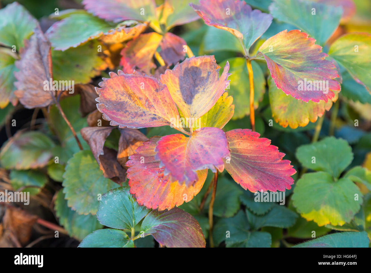 Strawberry plant leaves stock photos strawberry plant leaves stock strawberry plant in autumn with changing colours to pink and yellow stock image mightylinksfo