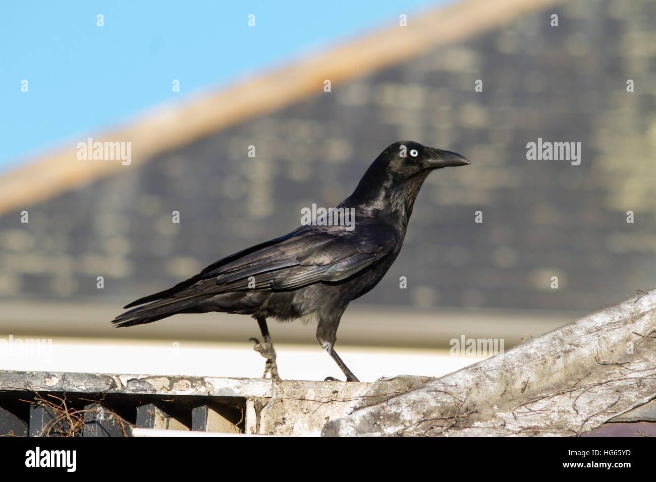 Forest Raven (Corvus tasmanicus) in an urban setting - Stock Image