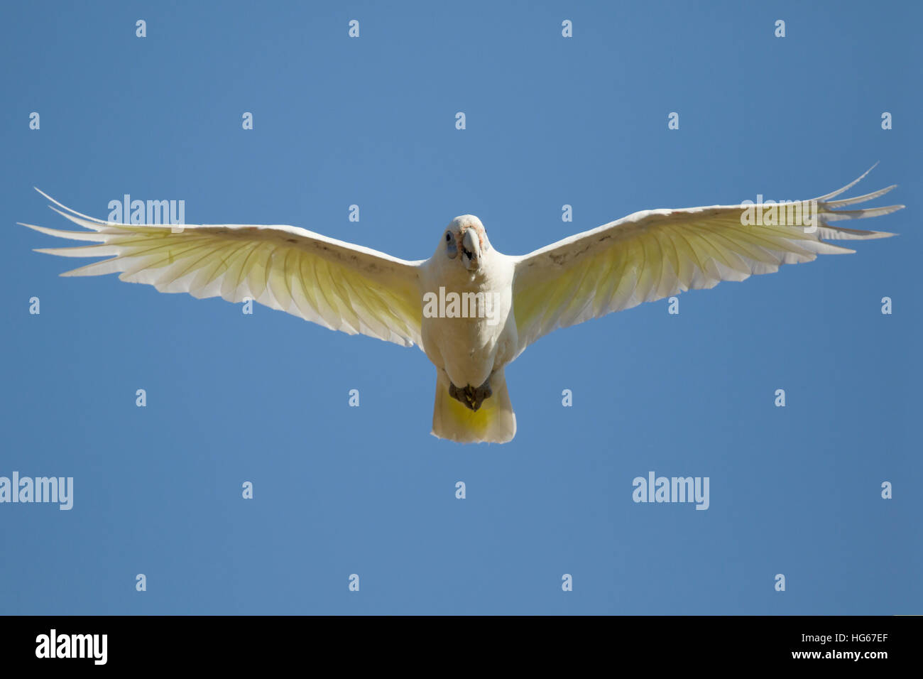 Little Corella - in flight Cacatua sanguinea Kakadu National Park Northern Territory, Australia BI029796 Stock Photo