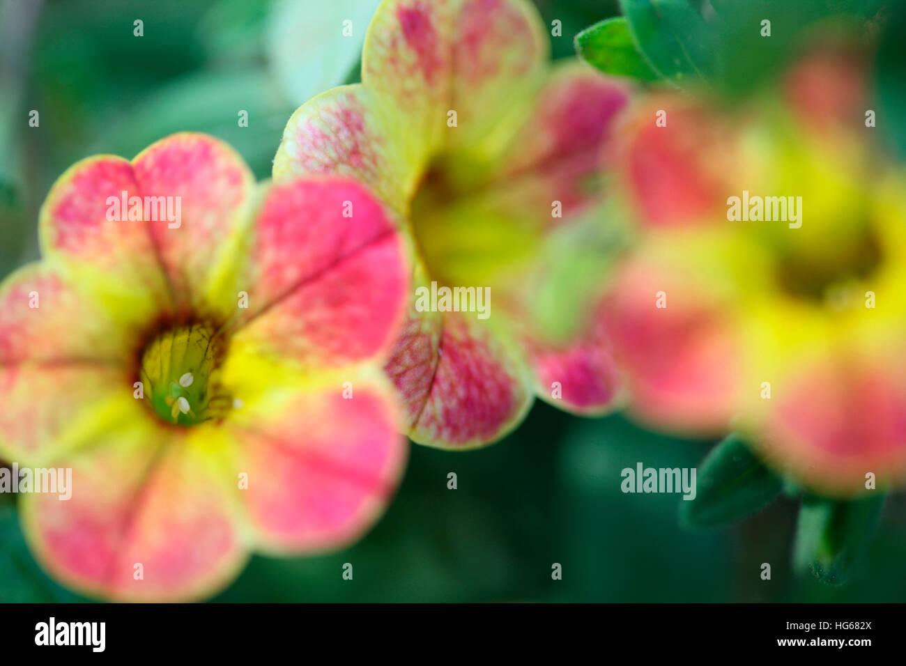 calibrachoa chameleon, sunshine berry, multi coloured mini-petunia flowers Jane Ann Butler Photography JABP1766 - Stock Image
