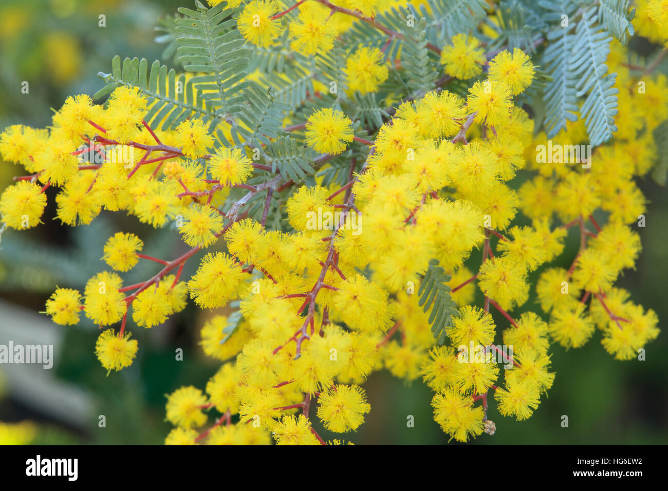 Mimosa De Bailey À Feuillage Pourpre cootamundra wattle, acacia baileyana 'purpurea' stock photo