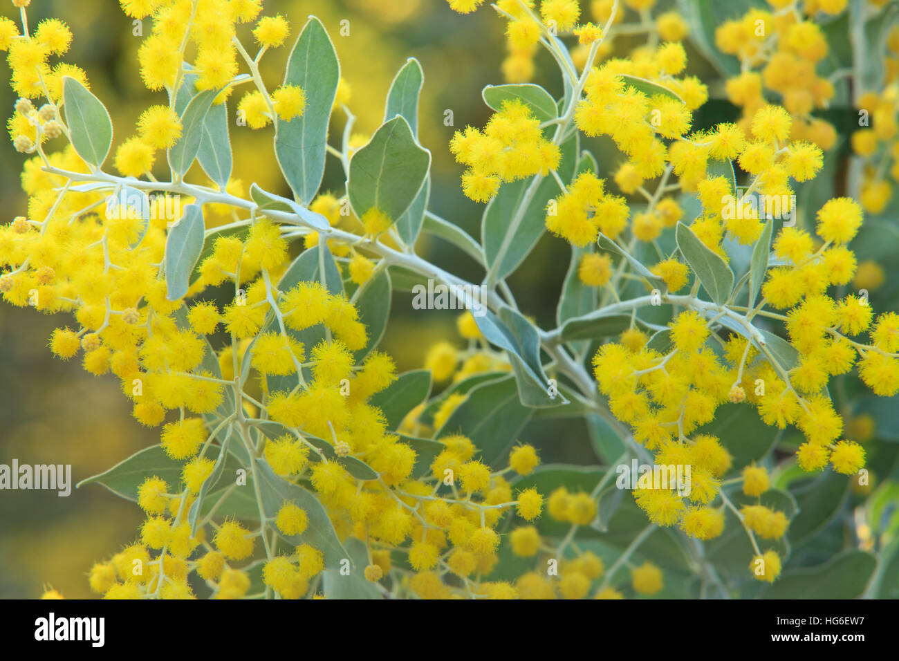 Queensland Silver Wattle Or Mount Morgan Wattle Acacia Stock Photo