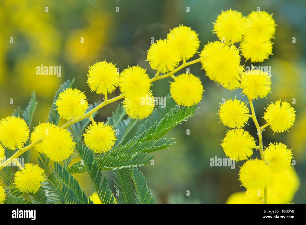 Silver Wattle Or Mimosa Le Gaulois Astier Acacia Dealbata Stock