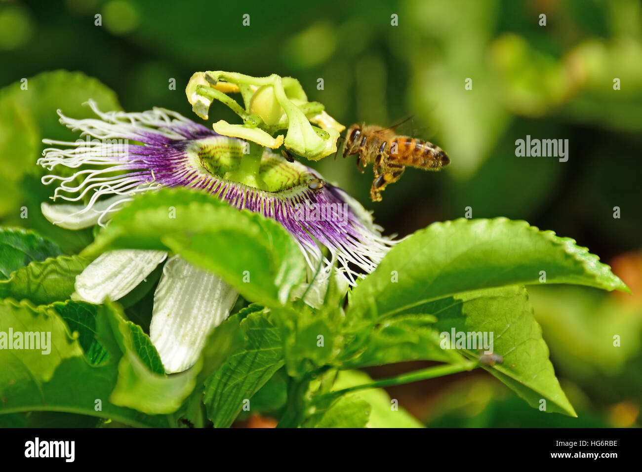 Bee pollinating passion fruit flower - Stock Image