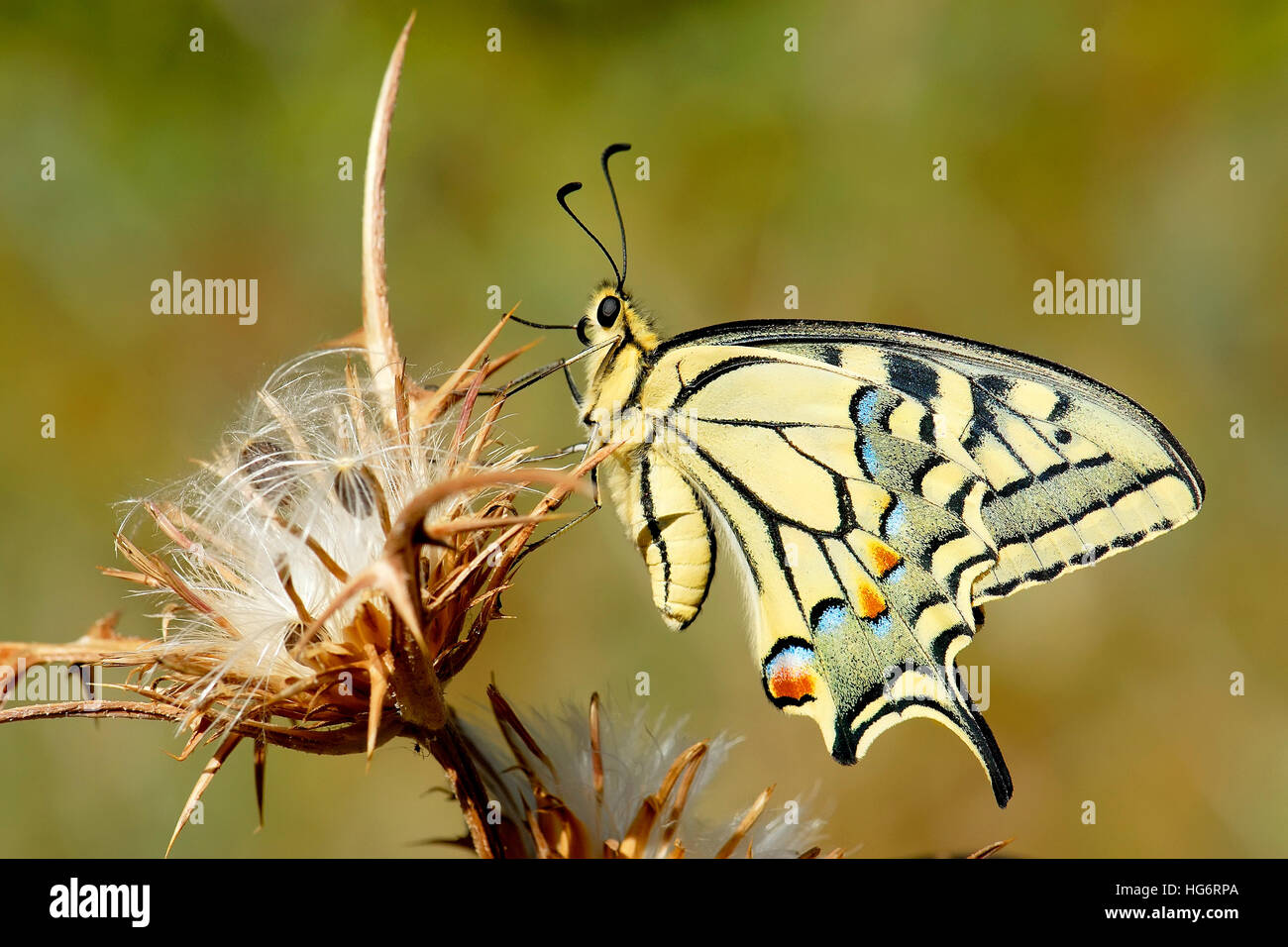 Swallowtail butterfly, Papilio machaon, Israel - Stock Image