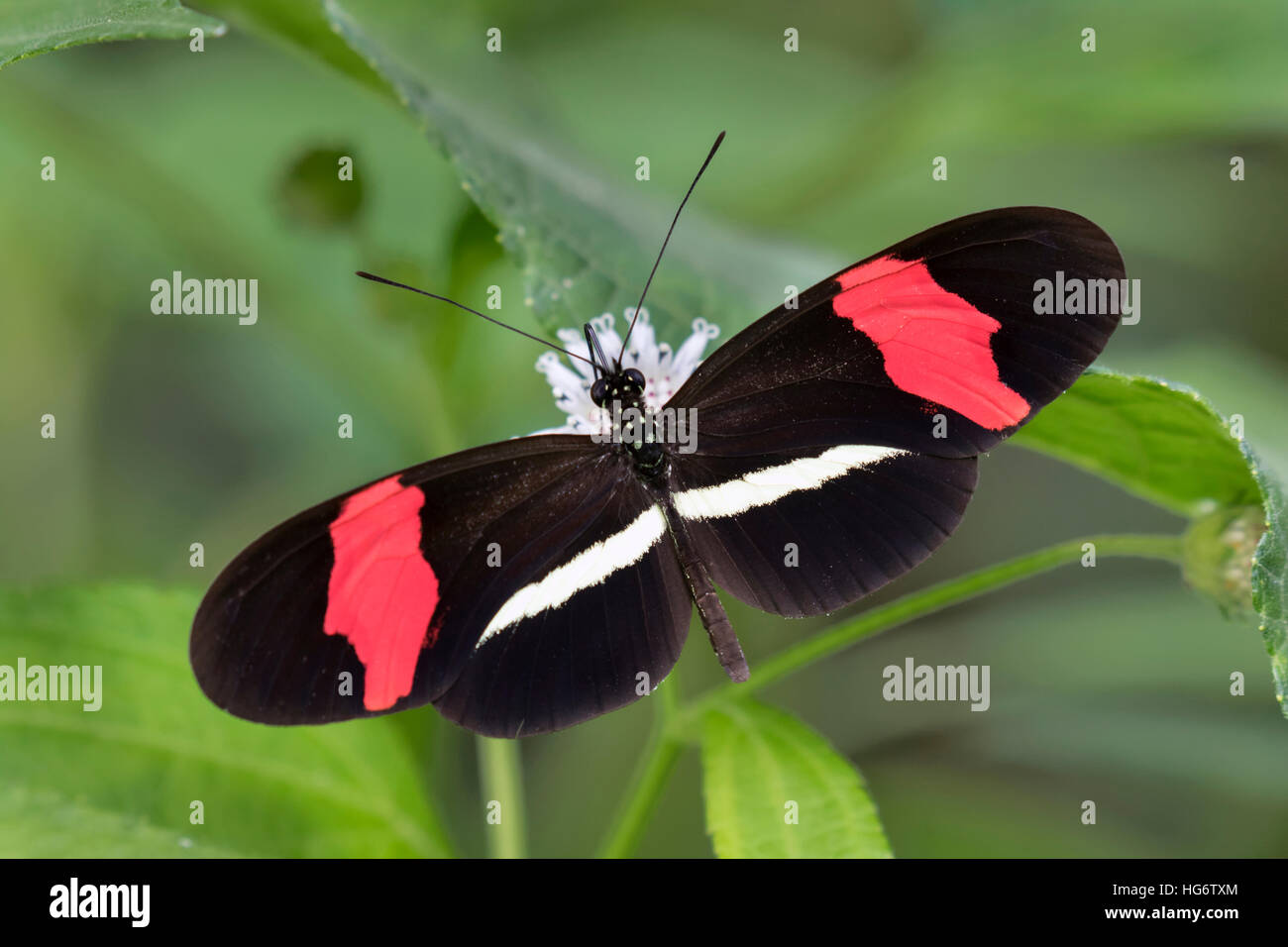 Red postman butterfly (Heliconius erato) feeding on a flower, Belize, Central America - Stock Image