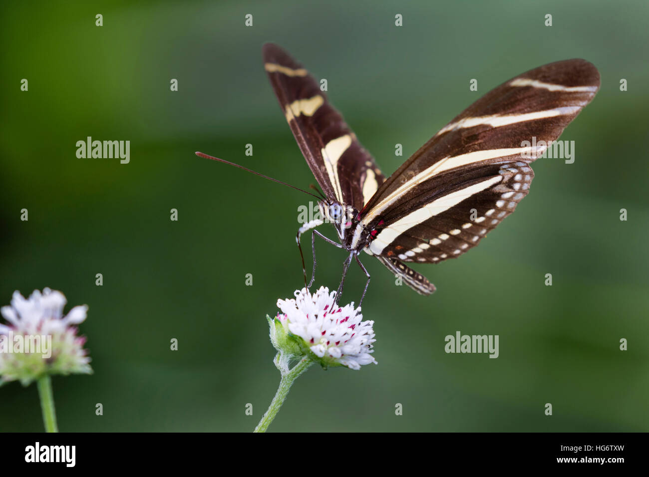 Zebra Longwing Butterfly (Heliconius charitonius) feeding on a flower, Belize, Central America - Stock Image