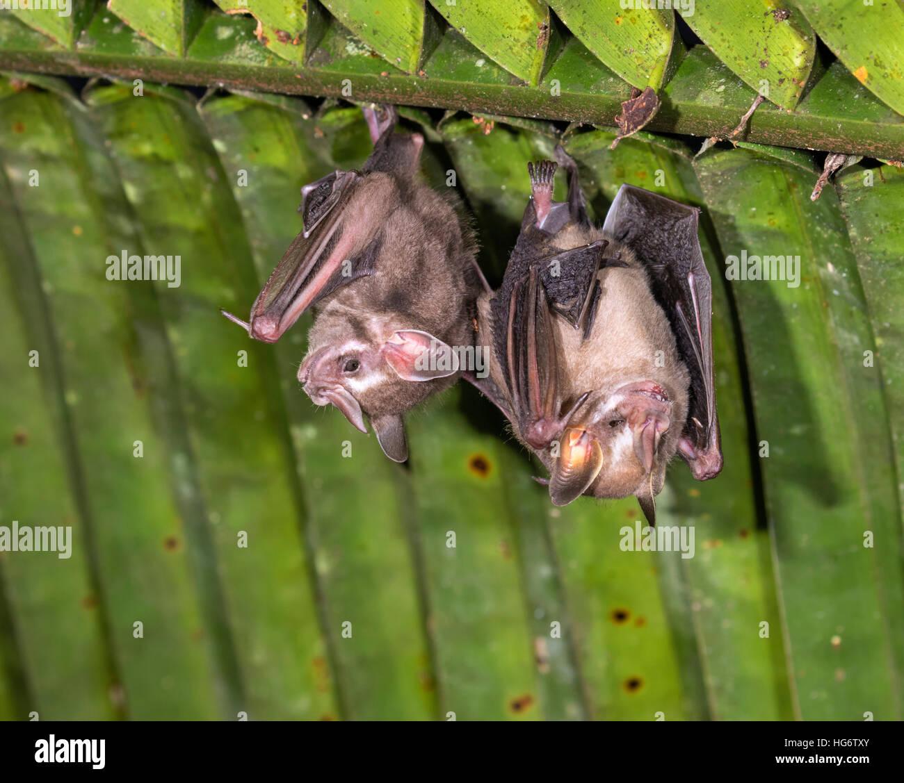 Pygmy fruit-eating bats (Dermanura or Artibeus phaeotis) roosting under palm leaf in rainforest, Belize, Central Stock Photo