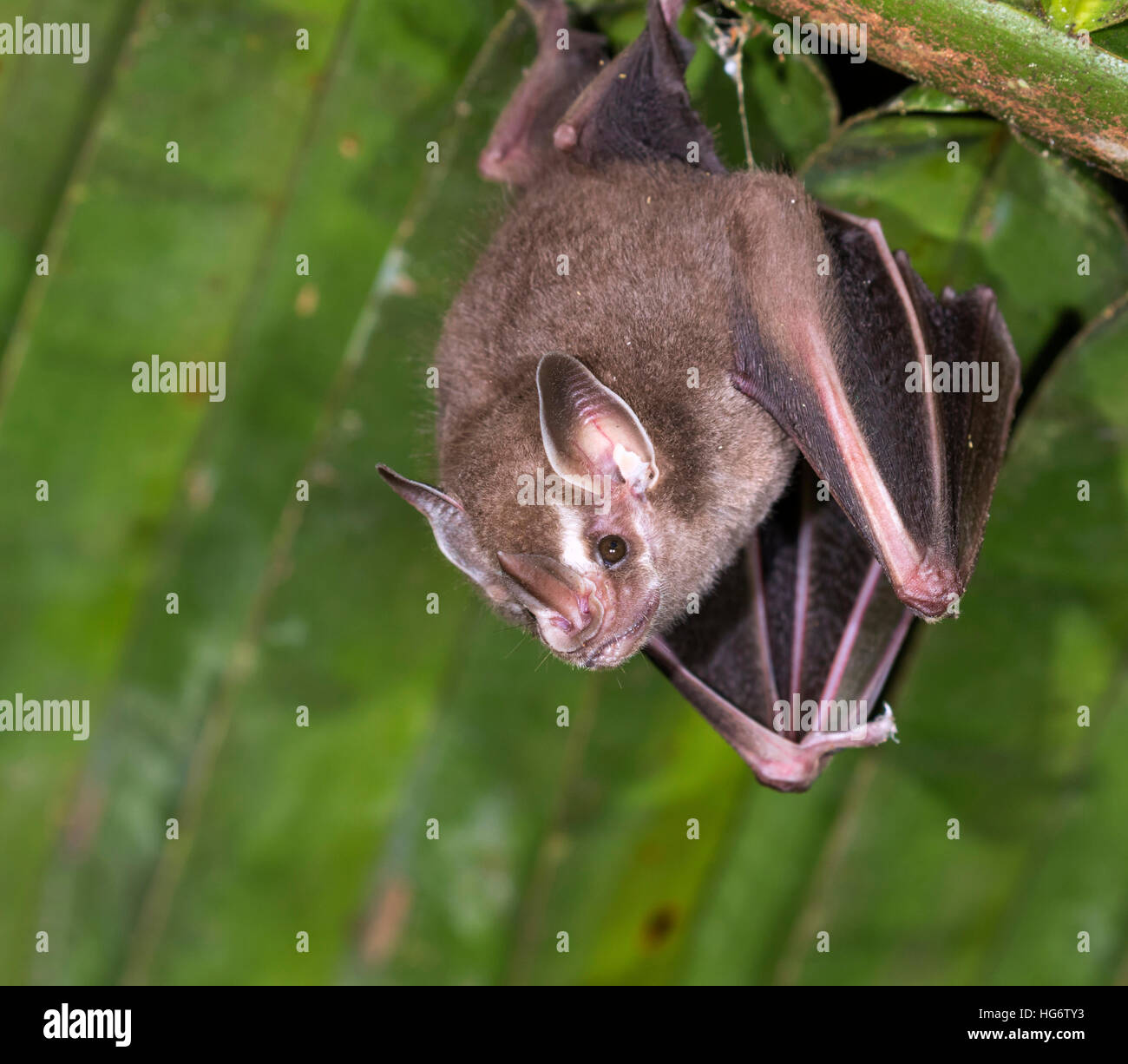 Pygmy fruit-eating bat (Dermanura phaeotis) roosting under palm leaf in rainforest, Belize, Central America - Stock Image