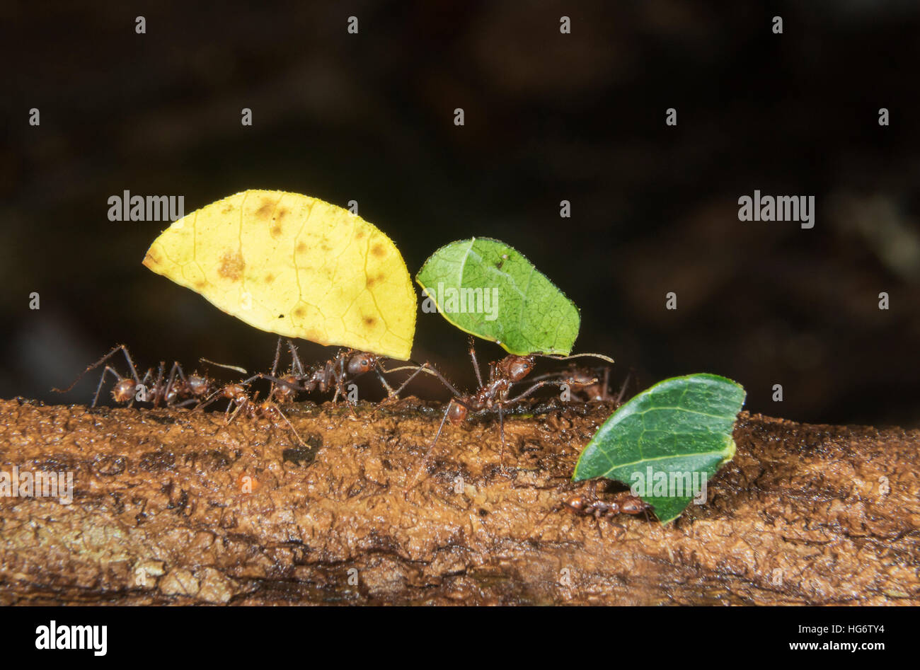 Leafcutter ants (Atta colombica) carrying pieces of leaves, Belize, Central America - Stock Image