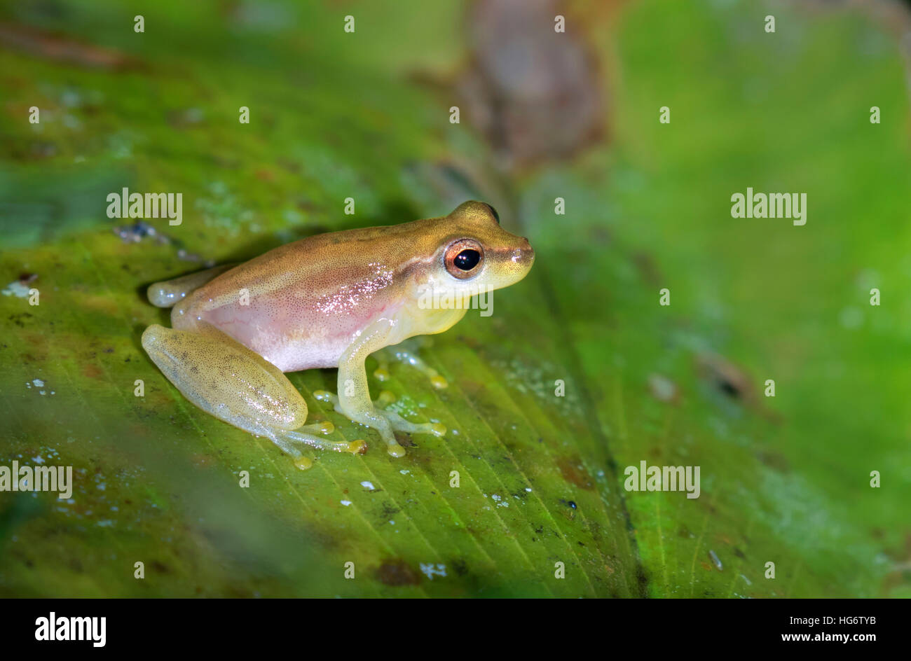 Yellow cricket tree frog (Dendropsophus microcephalus) on a leaf in swampy rainforest, Belize, Central America - Stock Image
