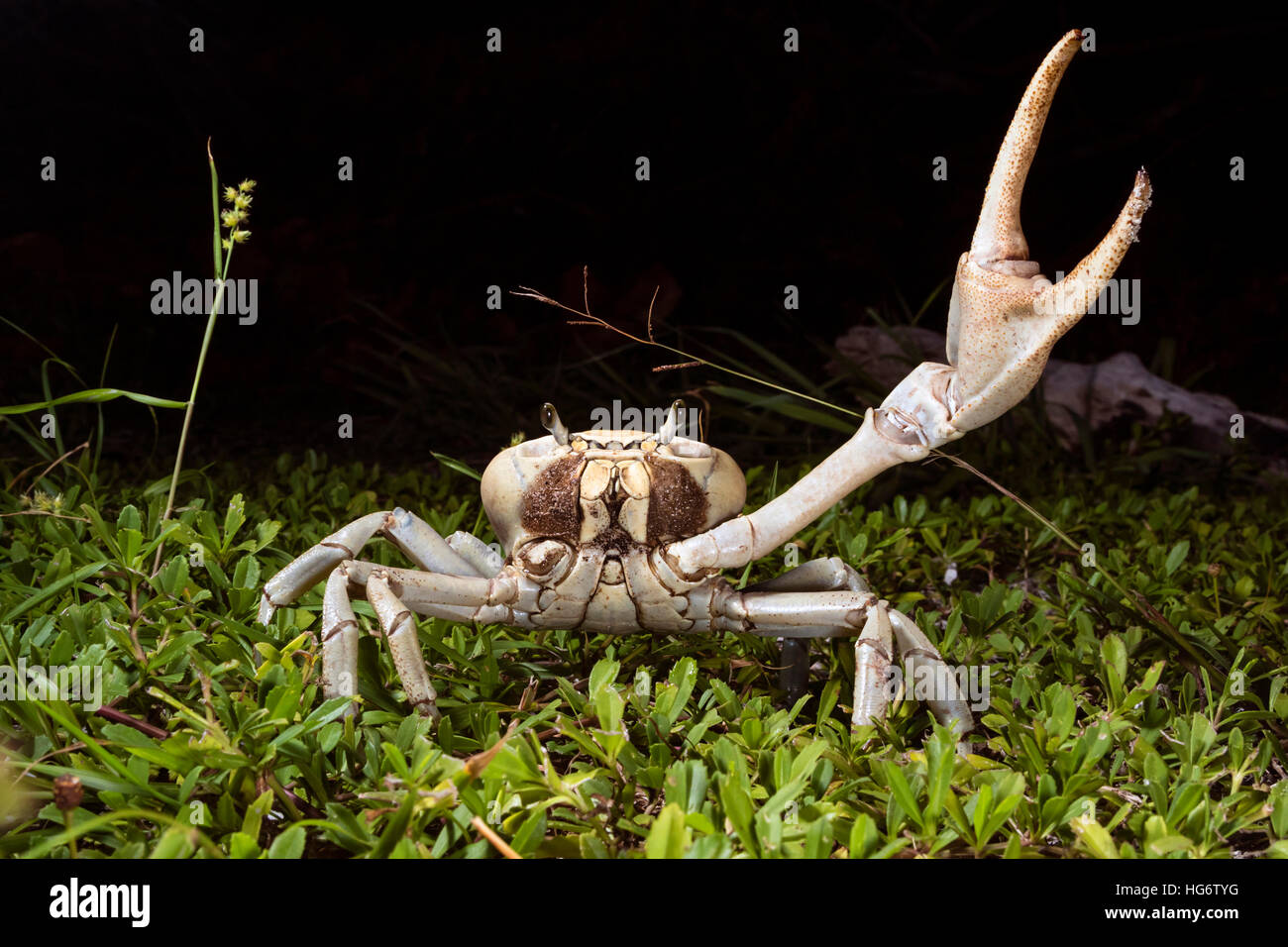 Blue land crab (Cardisoma guanhumi) in defensive posture at night, Caye Caulker Island, Belize, Central America - Stock Image