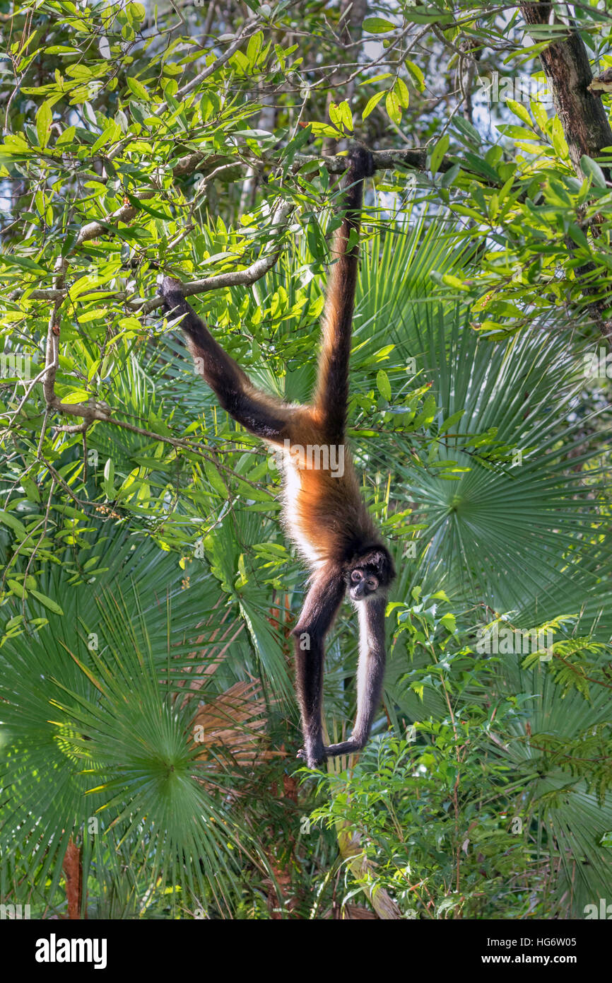 Yucatan Geoffroy's spider monkey (Ateles geoffroyi) taking sunbath in rainforest, Belize, Central America - Stock Image