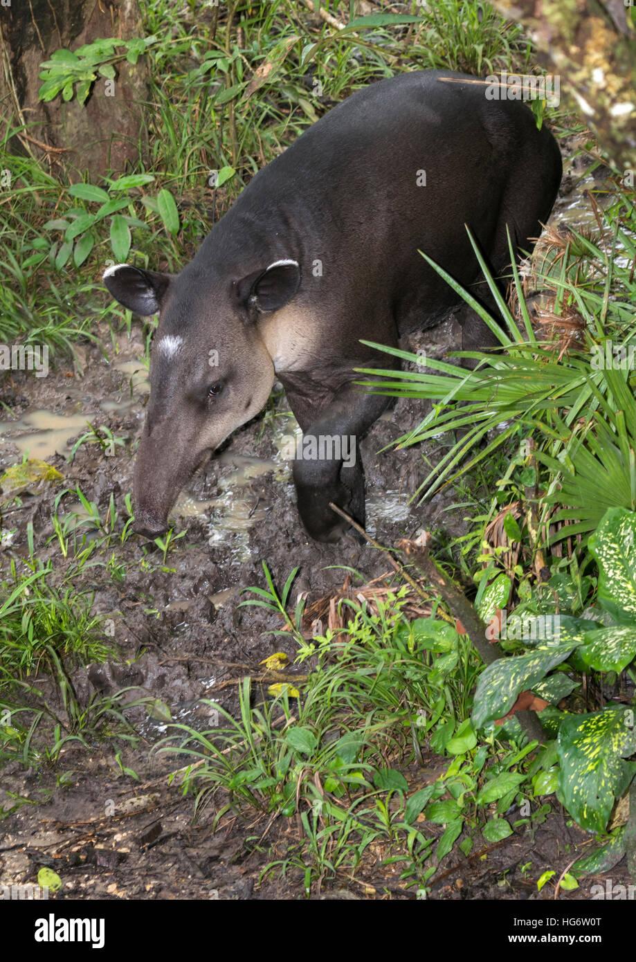 Baird's, or Central American, tapir (Tapirus bairdii) in swampy rainforest, Belize, Central America - Stock Image