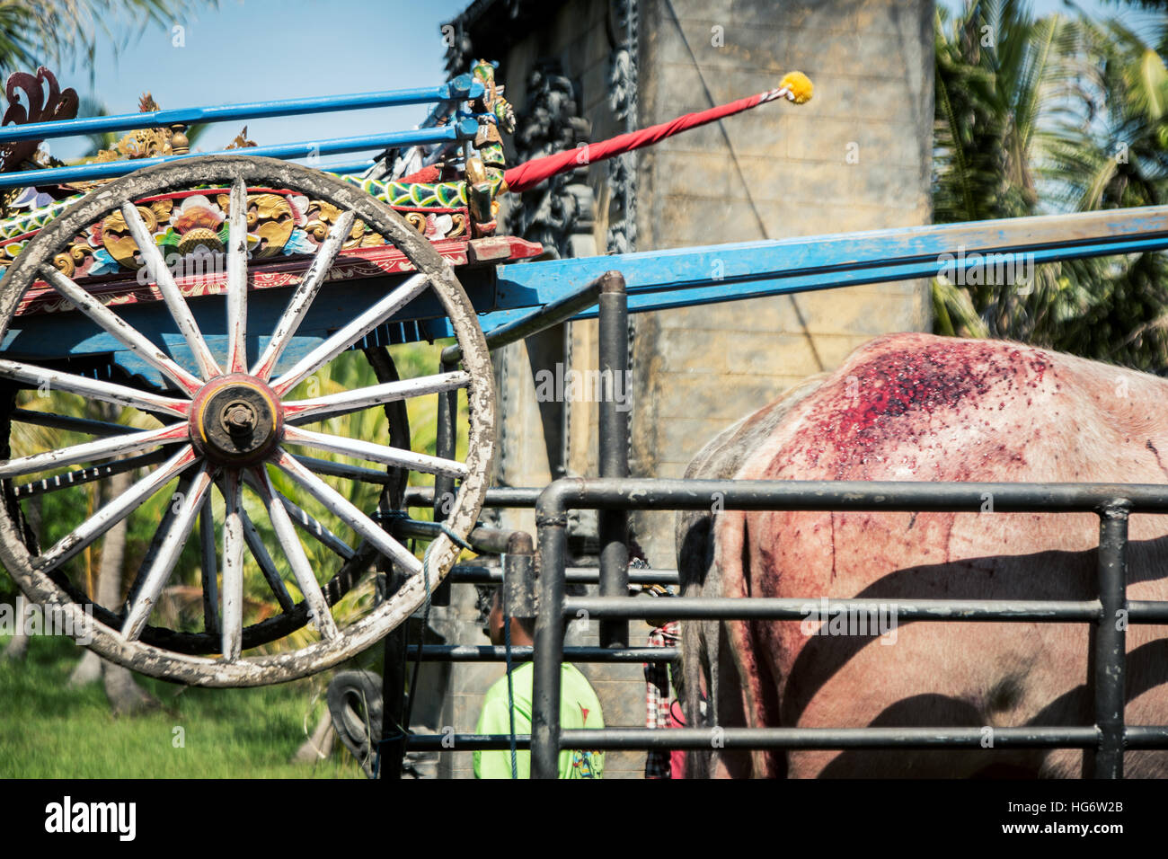 Buffalo wounded after finishing the Makepung race meet at Jembrana in Bali - Stock Image