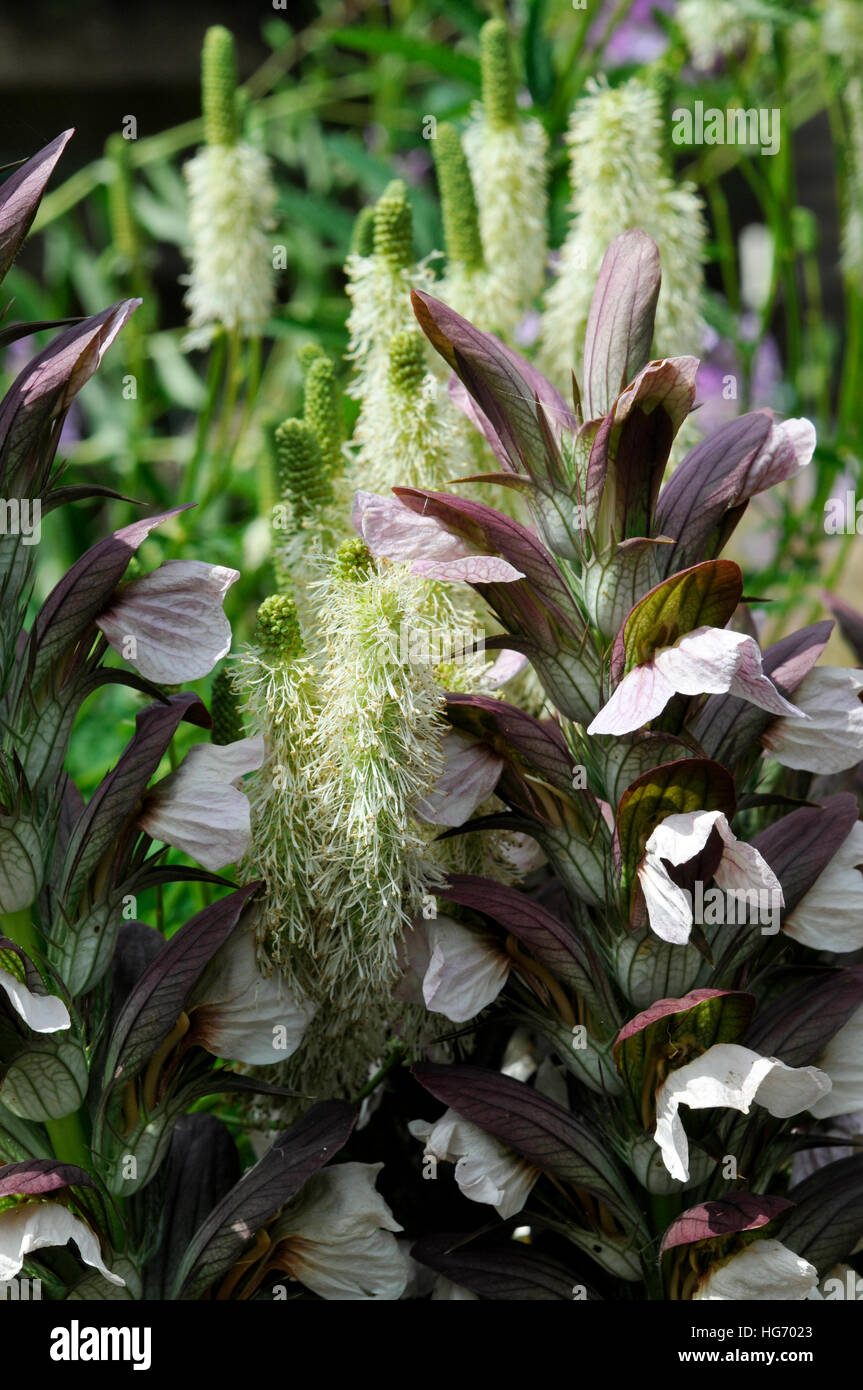 Plant Combination Of Acanthus Mollis And Sanguisorba Canadensis