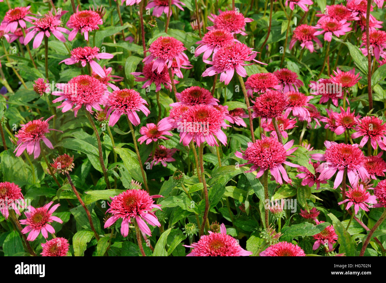 Echinacea purpurea 'Pink Double Delight' - Stock Image