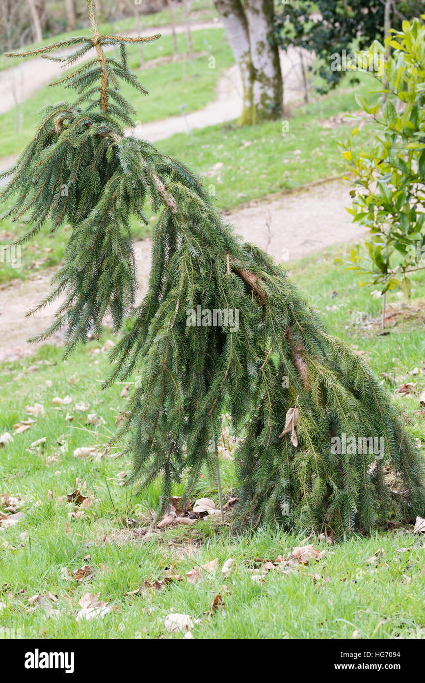 Hanging branches of the evergreen weeping spruce, Picea omorika 'Pendula' - Stock Image