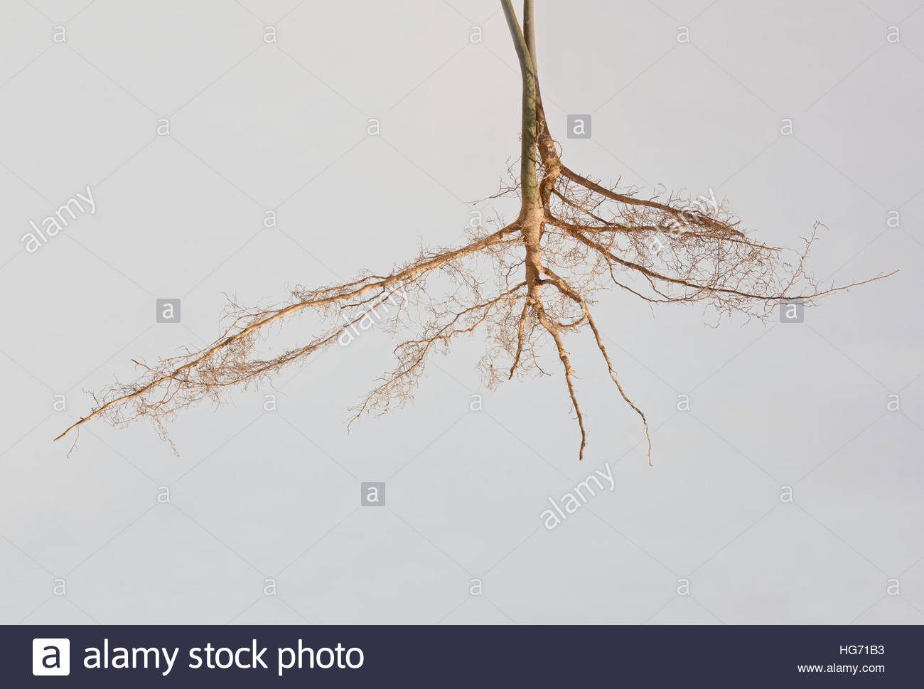 Roots of two young trees. - Stock Image