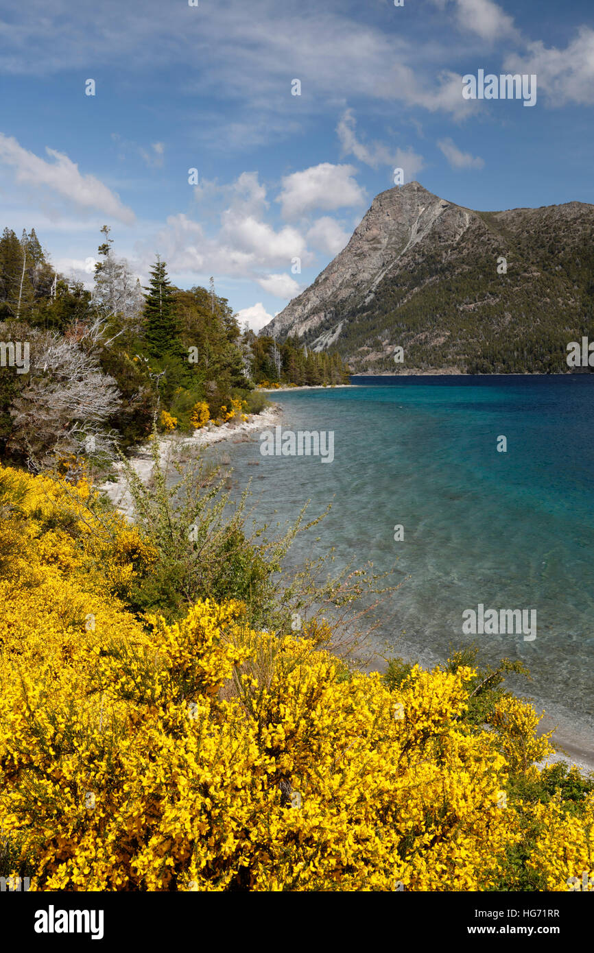 Yellow Broom on Lake Nahuel Huapi, near Bariloche, 7 Lakes Drive, Nahuel Huapi National Park, The Lake District, - Stock Image