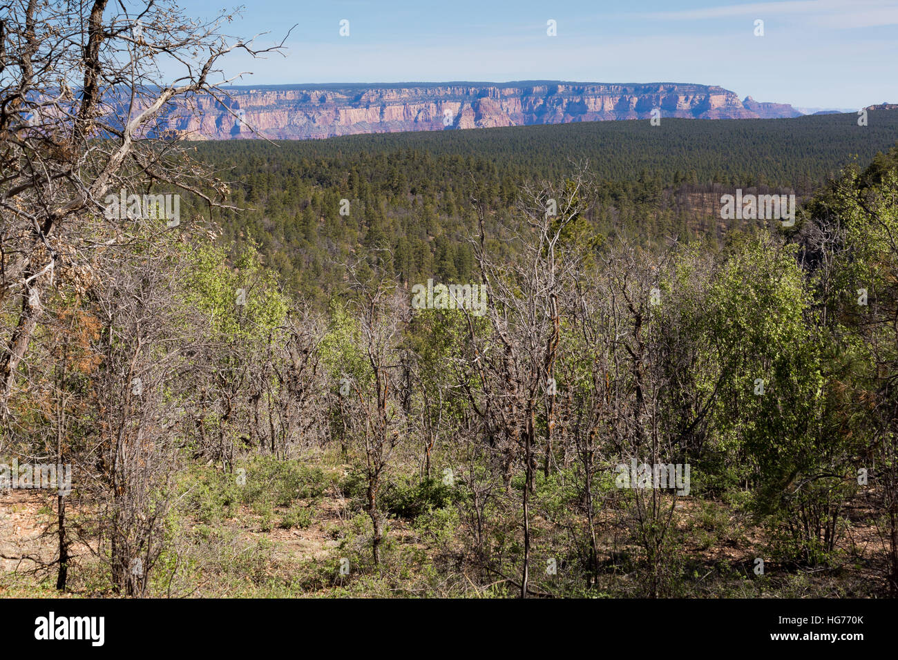 Features of the Grand Canyon peeking out from a viewpoint along the Coconino Rim. Kaibab National Forest, Arizona - Stock Image