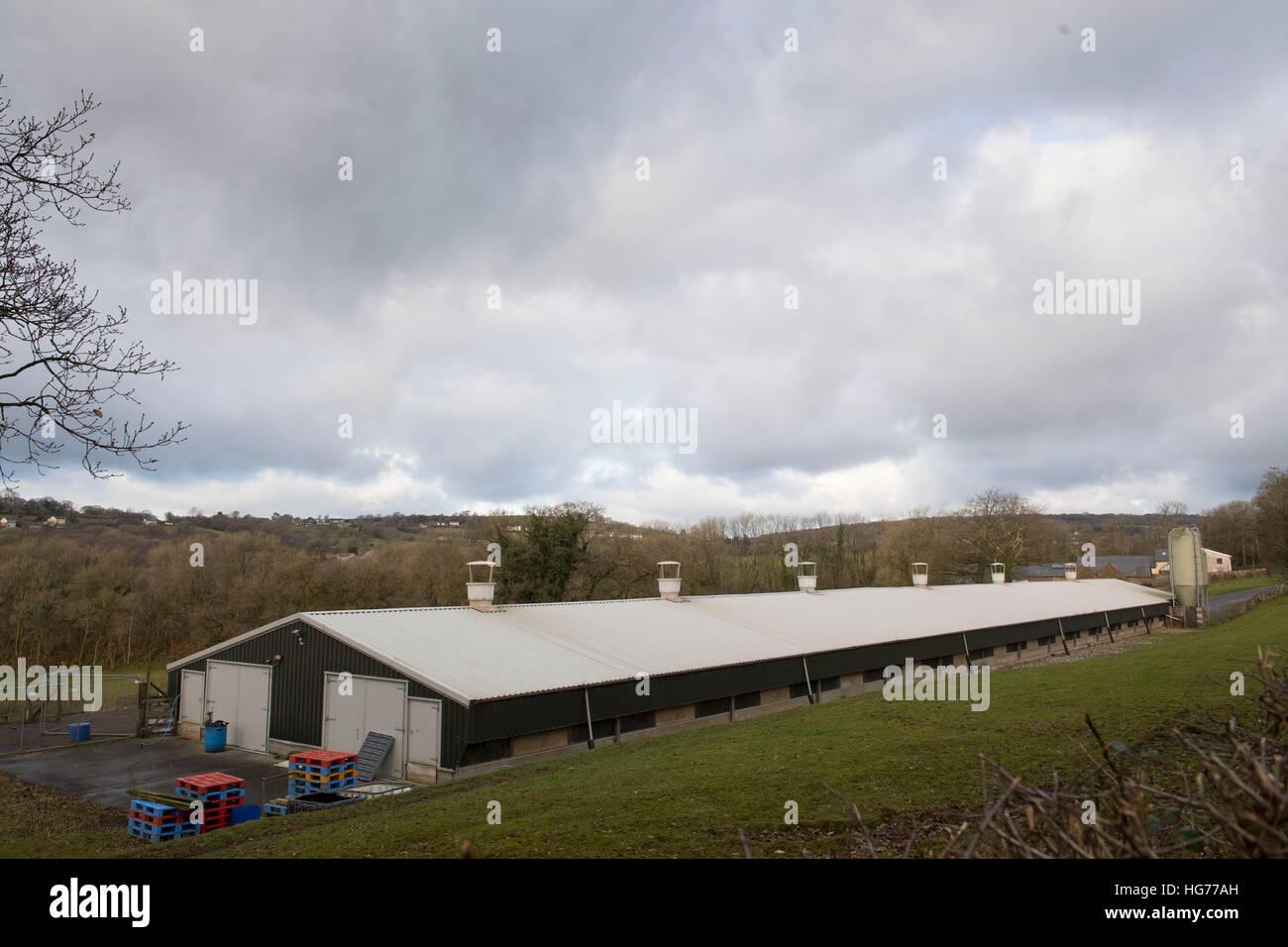 Hirwaun Isaf Farm poultry chicken turkey farm in Pontyberem, Carmarthen, South Wales, UK - Stock Image