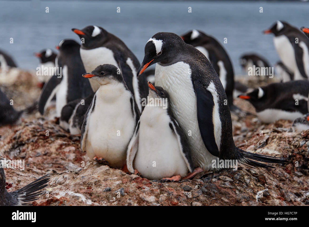 Gentoo penguin with chicks - Stock Image