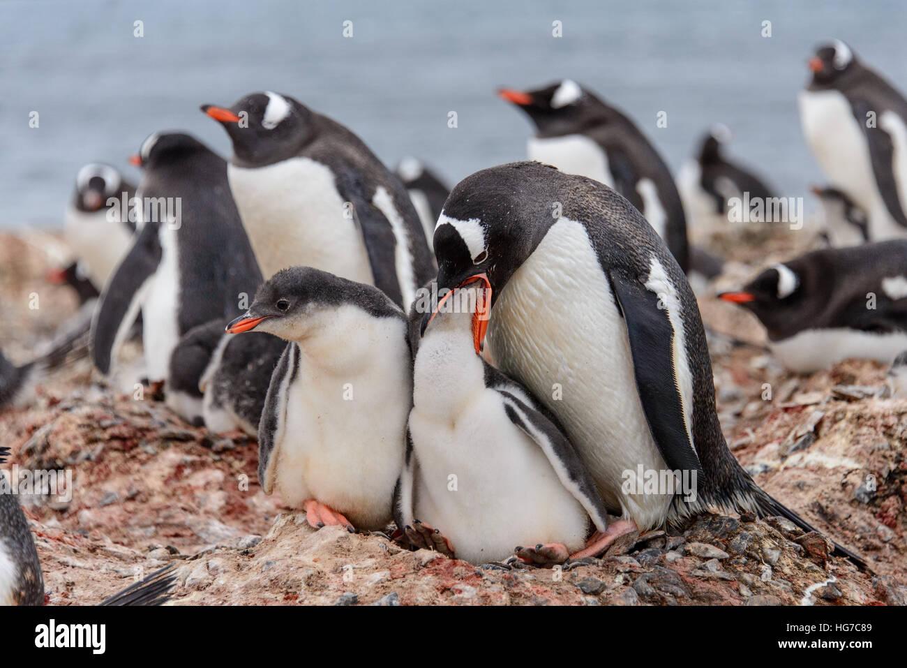 Gentoo penguin with chicks Stock Photo