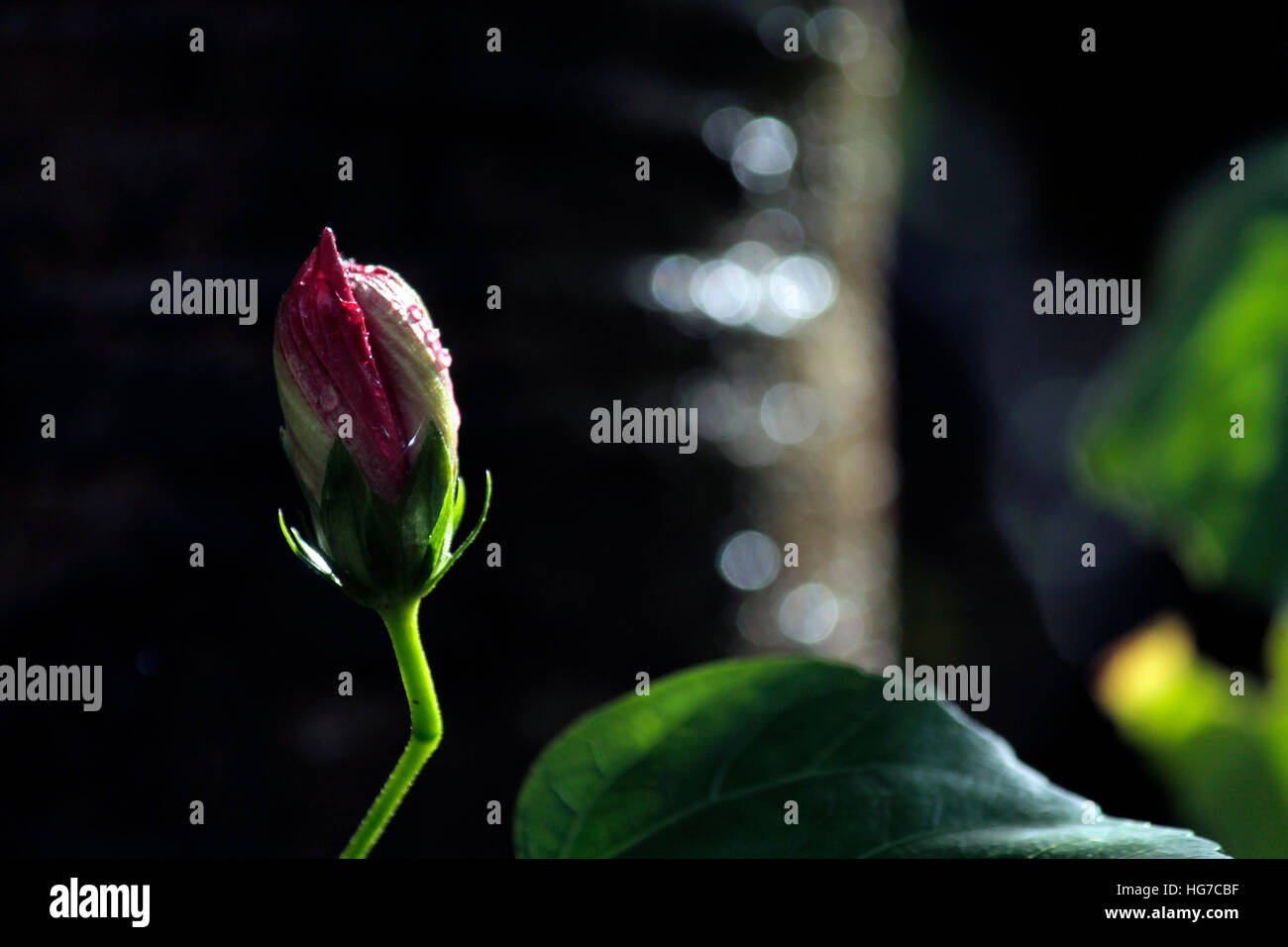 Hibiscus bud bloom stock photos hibiscus bud bloom stock images hibiscus bud stock image izmirmasajfo