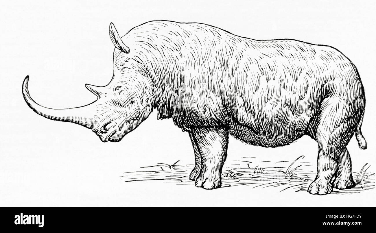 The woolly rhinoceros, Coelodonta antiquitatis. From Meyers Lexicon, published 1924. - Stock Image