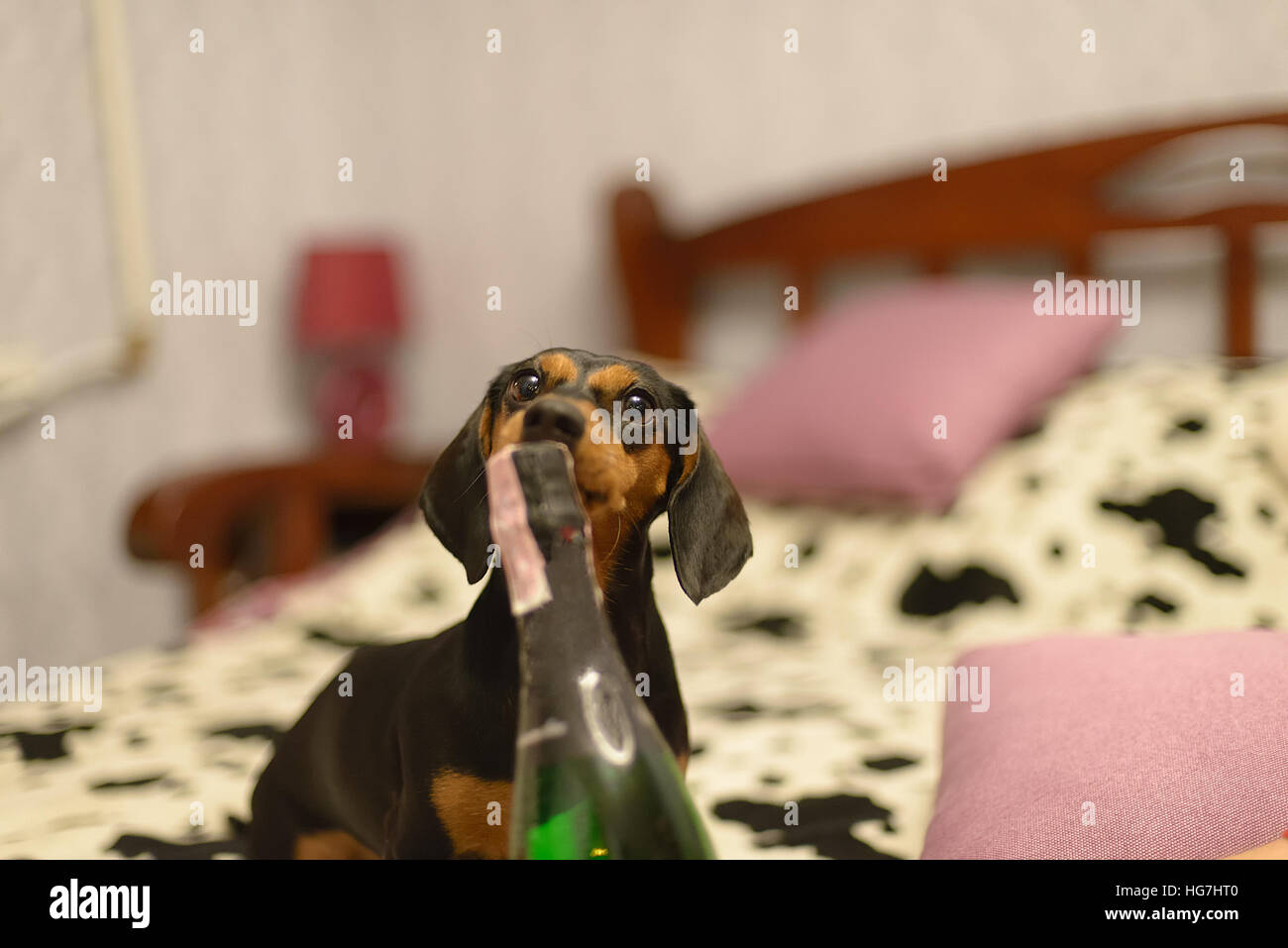 the dog with and a champaign bottle bed - Stock Image